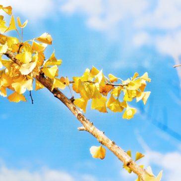 Ginkgo biloba e o poder das plantas